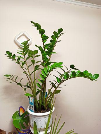 Комнатное растение цветок замиокулькас