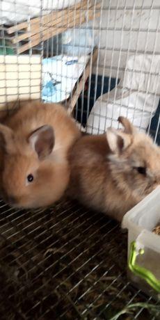 Продам  Декоротивные кролик