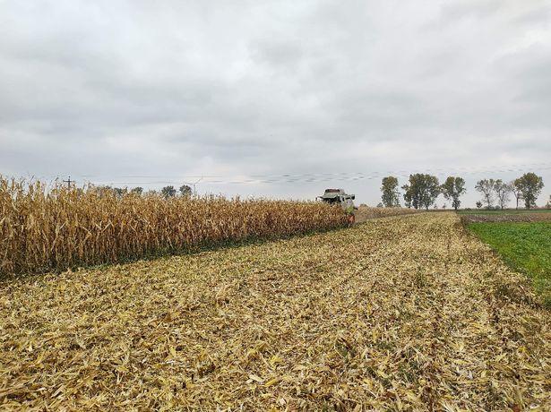 Kukurydza Lopino Zaprawiana na ptaki!