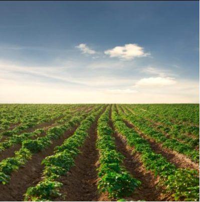 Ziemniaki jadalne i sadzeniaki/drobne Lilly i Bellarosa hurt lub detal