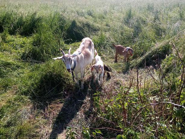 Sprzedam kozę z dwoma małymi kózkami.