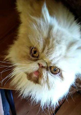 Персидская кошка «Экстрим» в добрые руки