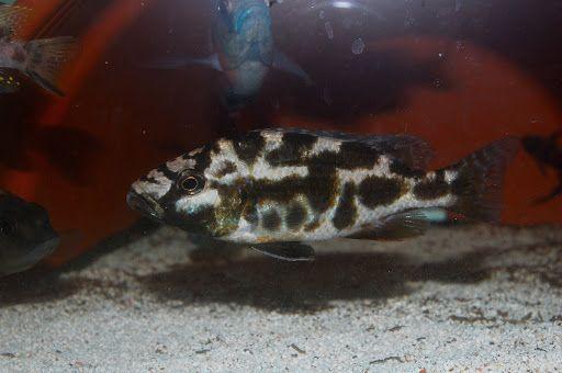 Pyszczak nimbochromis livingstonii -3cm bydgoszcz