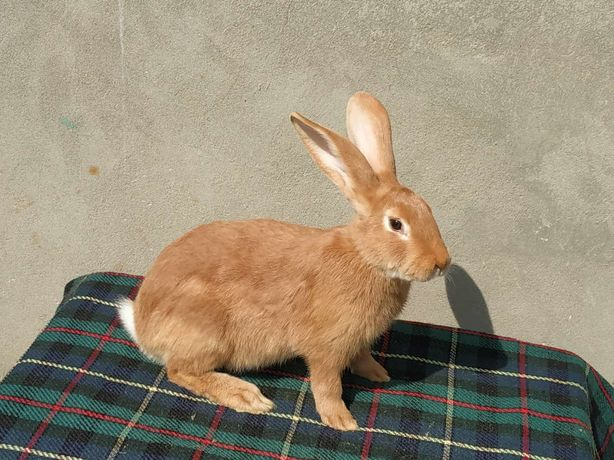 Кролі Кріль, самець породи Бургундія віком 4.5 міс