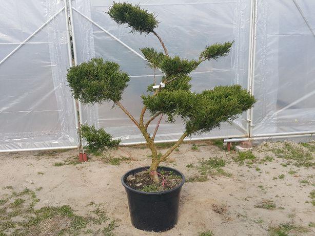 Juniperus Mint Julep Jałowiec bonsai formowane
