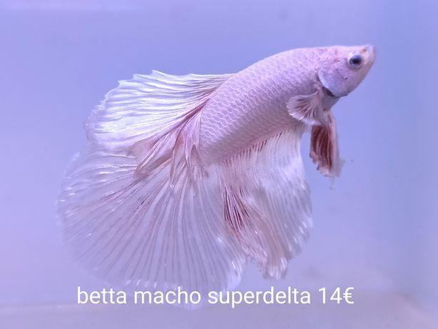 Betta superdelta macho/femea