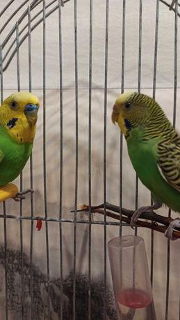 волнистые попугаи самочка и самец