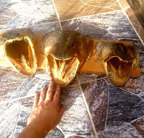 Duża głowa szczupaka lakierowana