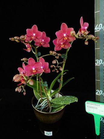 Phal. YH0555 Younghome Орхидеи орхидея
