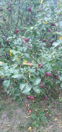 Яблоки  очень вкусные
