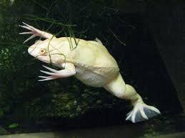Żaba Szponiasta elblag