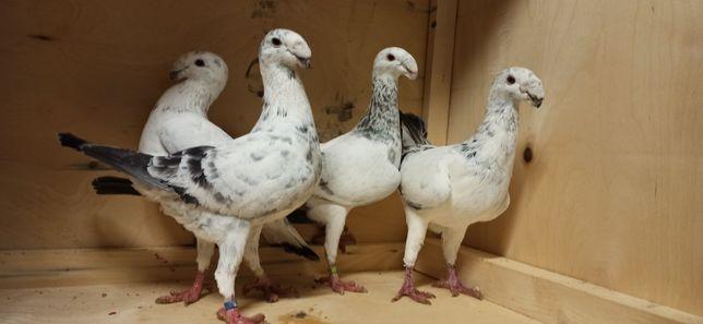 Niemiecki wystawowy szymel szymle piękne golebie