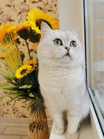 Кіт на в'язку Луцьк срібна шиншила