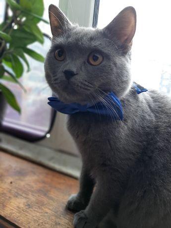 Відам в добрі руки британського котика хлопчик .