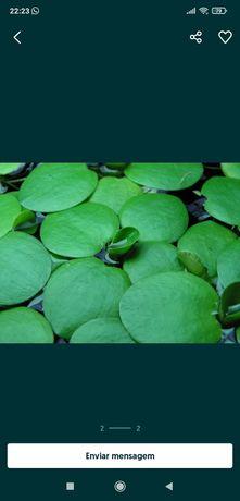 Laevigatum Limnobium ( planta flutuante )
