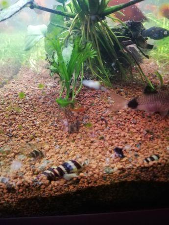 Ślimaki   helenki