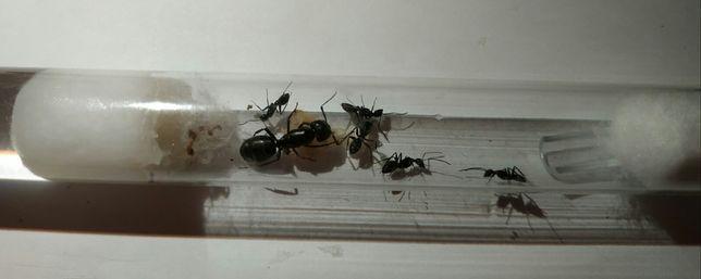 Муравьи Camponotus vagus, корм, матка, формикарий