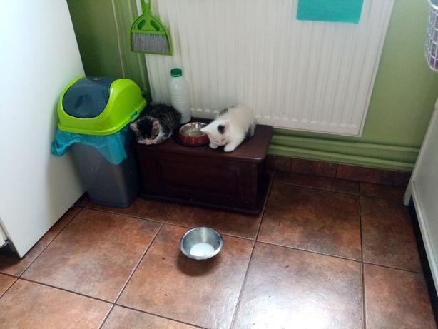Oddam dwa kociaki