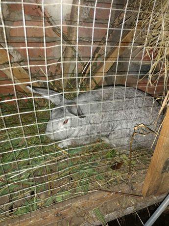 Продам самца сов. шиншилы кроли кролики