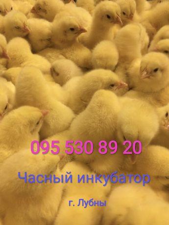 ДобовДобовi та пiдрощенi курчата бройлера , яйця iнкубацiйнi     ( щот