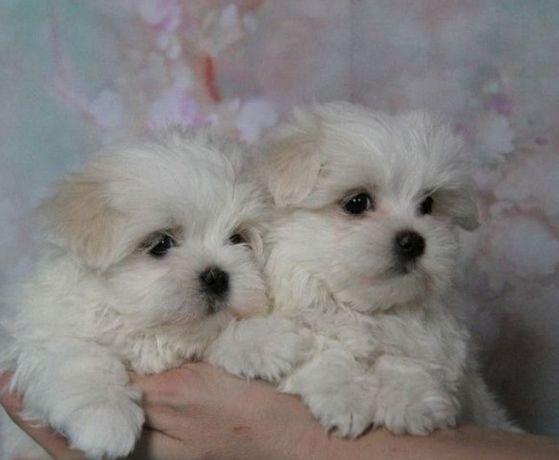 Элитные щенки, профразведение. Фото принадлежат питомнику