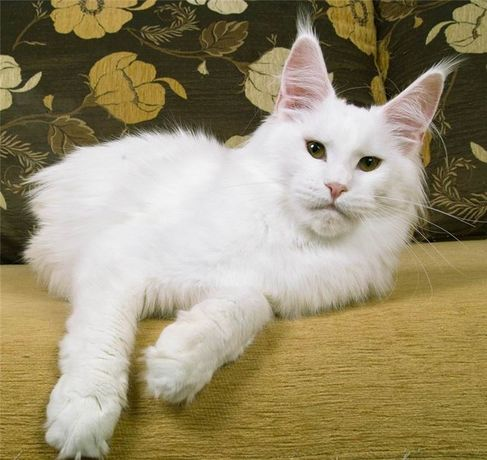 Котик мейн кун белый солид