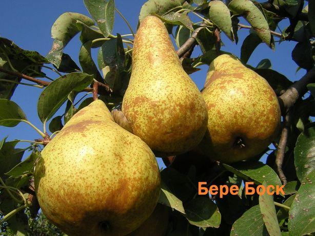 Саженцы груши,яблони, боярышника,кизила,барбариса, ореха грецкого,ирги