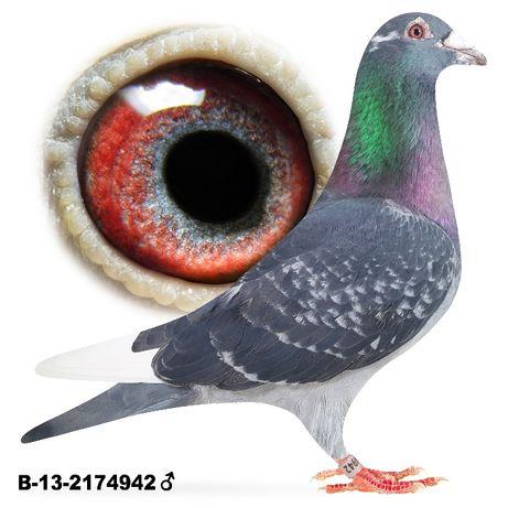 Młode 2021 Para nr 17 K.Szkolny x R. Listonet gołąb gołębie pocztowe
