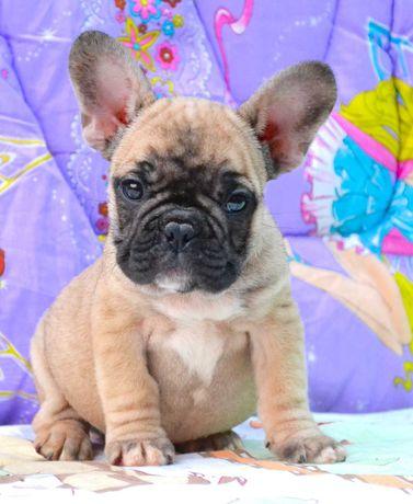 Алиментный щенок французского бульдога! Клубная вязка!