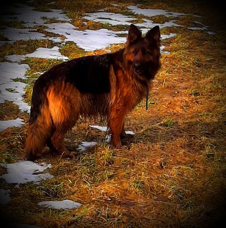 Oddam psa owczerek czarnego