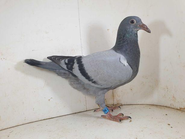 Młode 2021 z rozpłodu z rodowodami gołąb gołębie pocztowe