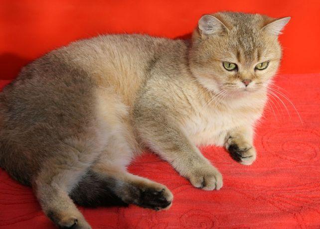 Продам кошку золотая шиншилла.