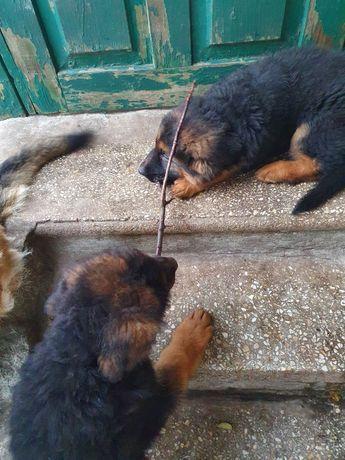 Породистые щенки немецкой овчарки