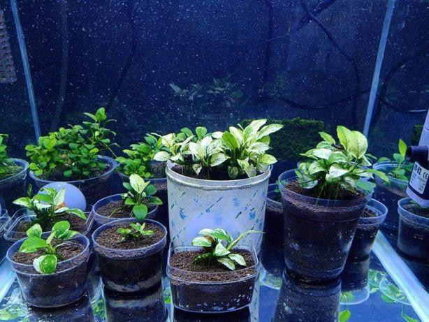 Rośliny akwariowe Anubias Nana Pinto ORYGINAŁ Olsztyyn
