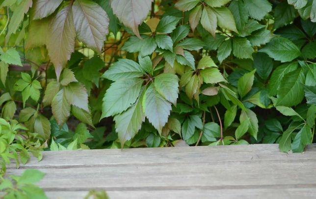Саженцы девичьего винограда пятилисточкового саджанці дівочого ліана