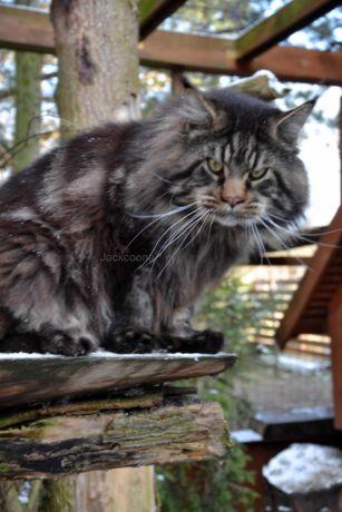 Potężne Maine coony - kocięta Rezerwacja 1000 zł