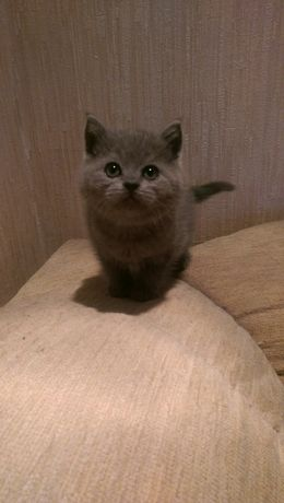 Британський котик
