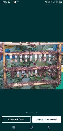 Madki pszczele  unasienione