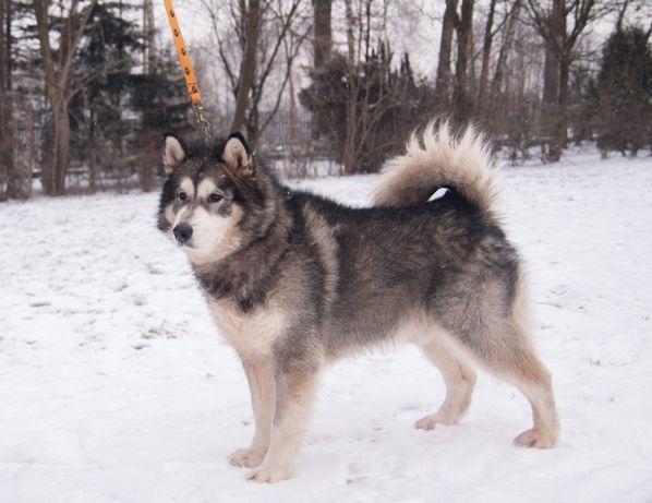 AXEL-malamut- pies dla ludzi z doświadczeniem