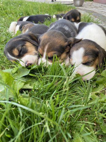 Szczeniaki Beagle Tri-color ( Ostatnia Su )
