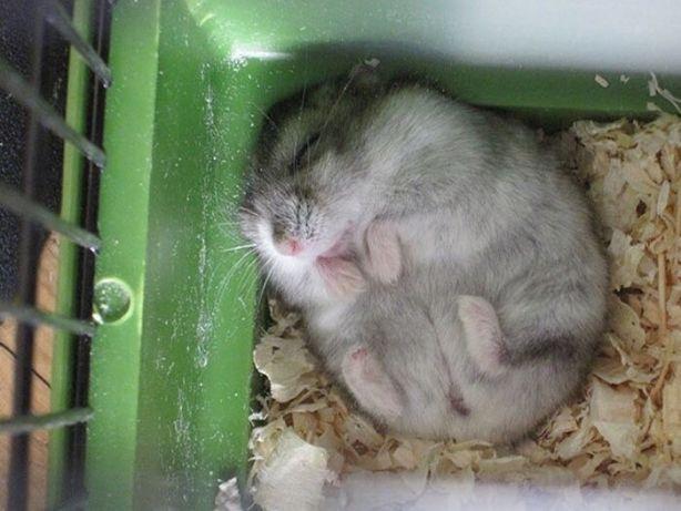 Хомяк хомячки ручной малыш (в добрые руки джунгарик м.героев клетка