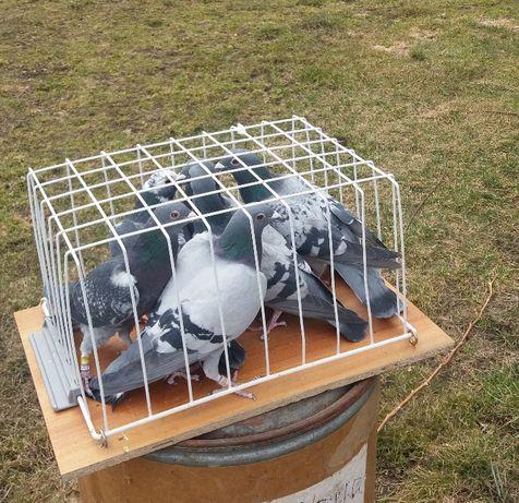 Gołębie pocztowe 2020 r.