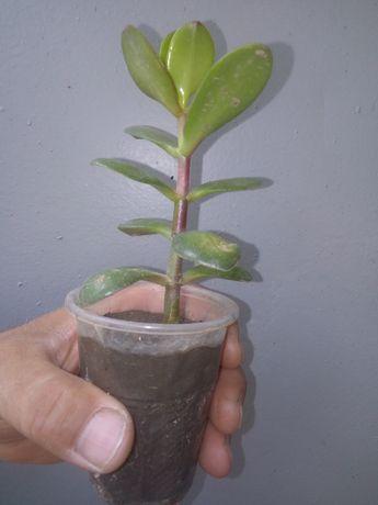 Денежное дерево(детка)