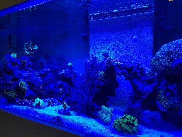 Pavona akwarium morskie szczepka koralowce