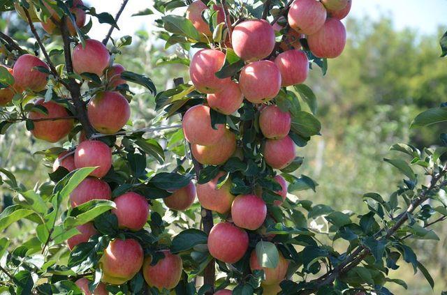 Саженцы плодовых яблони груши сливы абрикоса Саджанці яблуні груші