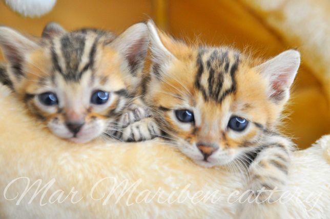 Мини леопардики, бенгальские котята с документами.Девочки.