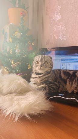 Вязка шотланской кошки