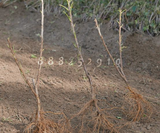 Porzeczka CZERWONA sadzonki, 3 ODMIANY