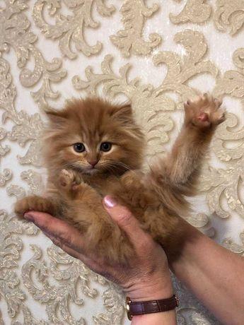 Котята классический перс