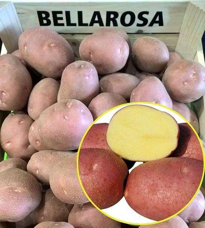 Домашня картопля бела росса, санте, рокко Єко без пестецидів. Картошка